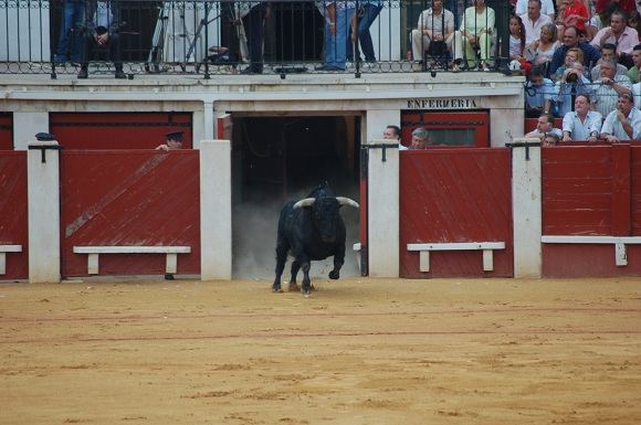 The bull enters the ring